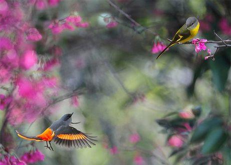 Фото Птичка оранжево-черного оттенка взлетает, распахнув крылья, на встречу птичке черно-желтого оттенка, сидящей на ветке дерева с розовыми цветами