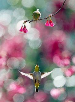 Фото Птичка желтого оттенка взлетает, распахнув крылья, на встречу птичке желтого оттенка, сидящей на ветке дерева с розовыми цветами