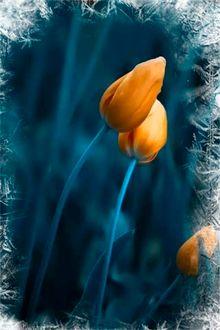 Фото Желтые тюльпаны на голубом фоне обрамленные заснеженными кристаллами