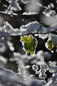 Фото Листочки на ветках в снегу