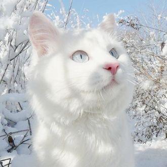 Фото Белая кошка на снегу