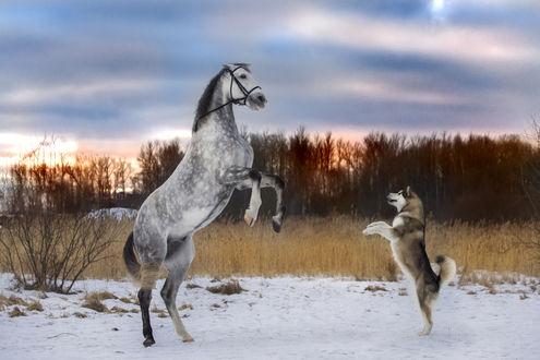 Фото Лошадь и хаски стоят друг перед другом на задних ногах и лапах, фотограф Андрей Ершов