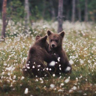 Фото Медвежата в поле цветов