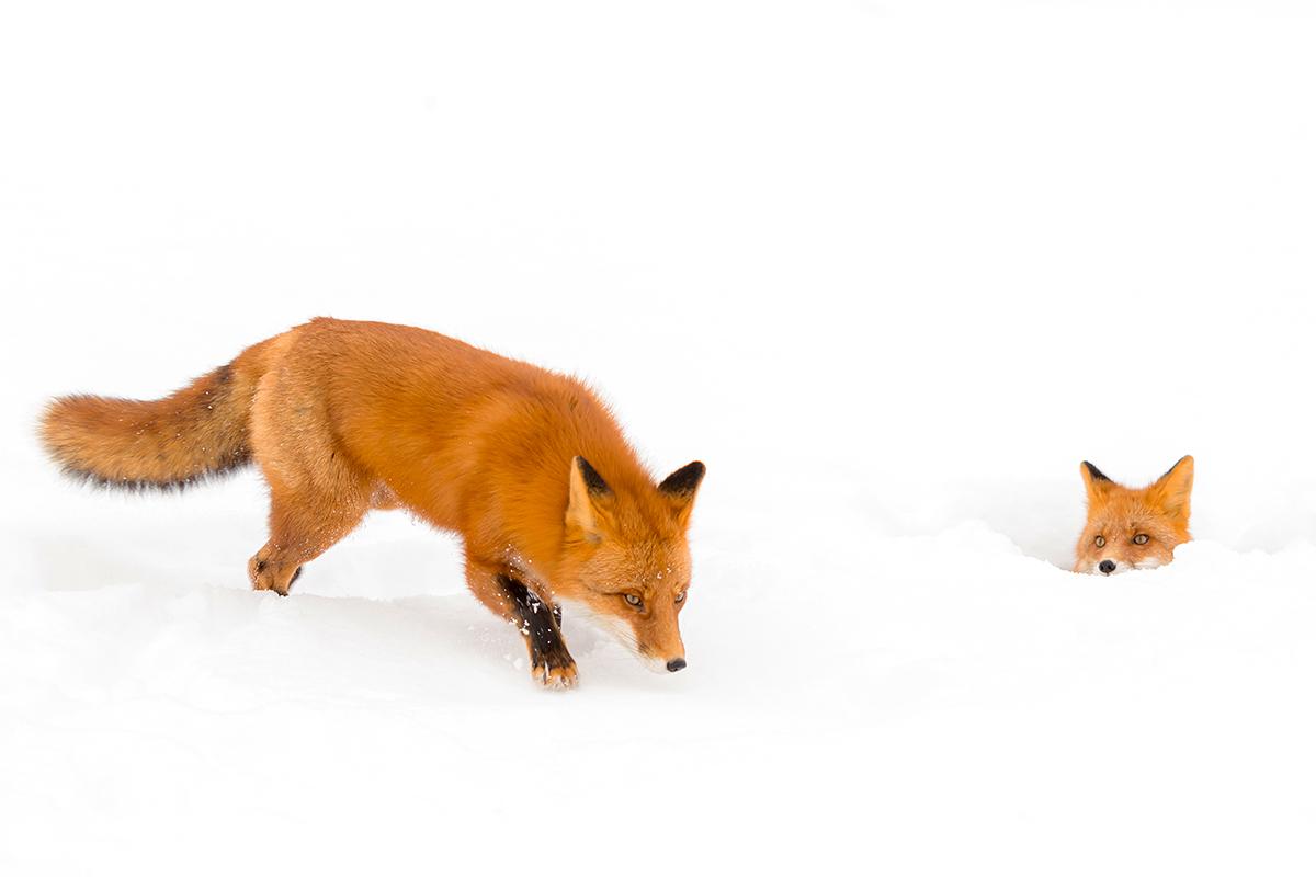 Фото Одна лиса идет по снегу, а другая наблюдаеь за ней, фотограф Денис Будьков