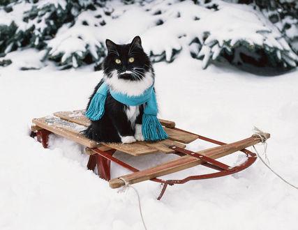 Фото Черно-белый кот в шарфе сидит на винтажных санках, by Marie Dolphin
