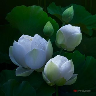 Фото Белые лотосы в каплях росы, фотограф Duong Quoc Dinh