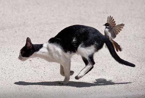 Фото Удирающая кошка с сидящей на ее хвосте птичкой