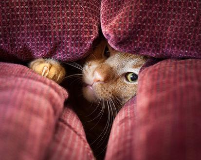 Фото Сердитая морда рыжего кота, виднеющаяся из-под подушек