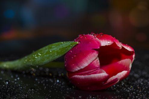 Фото Розовый тюльпан с каплями воды
