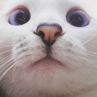 Фото Белый кот с фиолетовыми глазами уткнулся носом в камеру