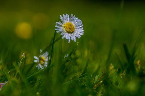 Фото Ромашка в каплях росы в траве, by APU Foto