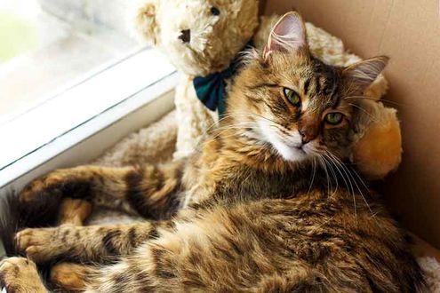 Фото Серый кот с игрушечным мишкой на окне