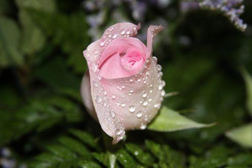 Фото Бутон розовой розы в каплях росы