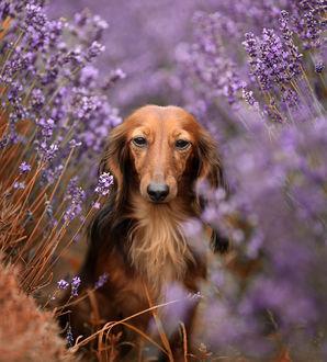 Фото Пес сидит среди цветов лаванды, фотограф Mycatherina