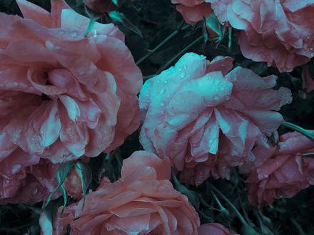 Фото Мокрые розовые пионы