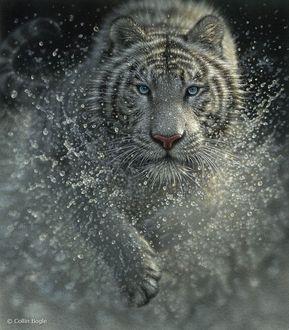 Фото Голубоглазый тигр в брызгах воды, художник Сollin Bogle / Коллин Богл