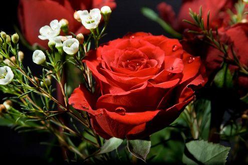 Фото Красная роза с каплями росы и мелкие белые цветы