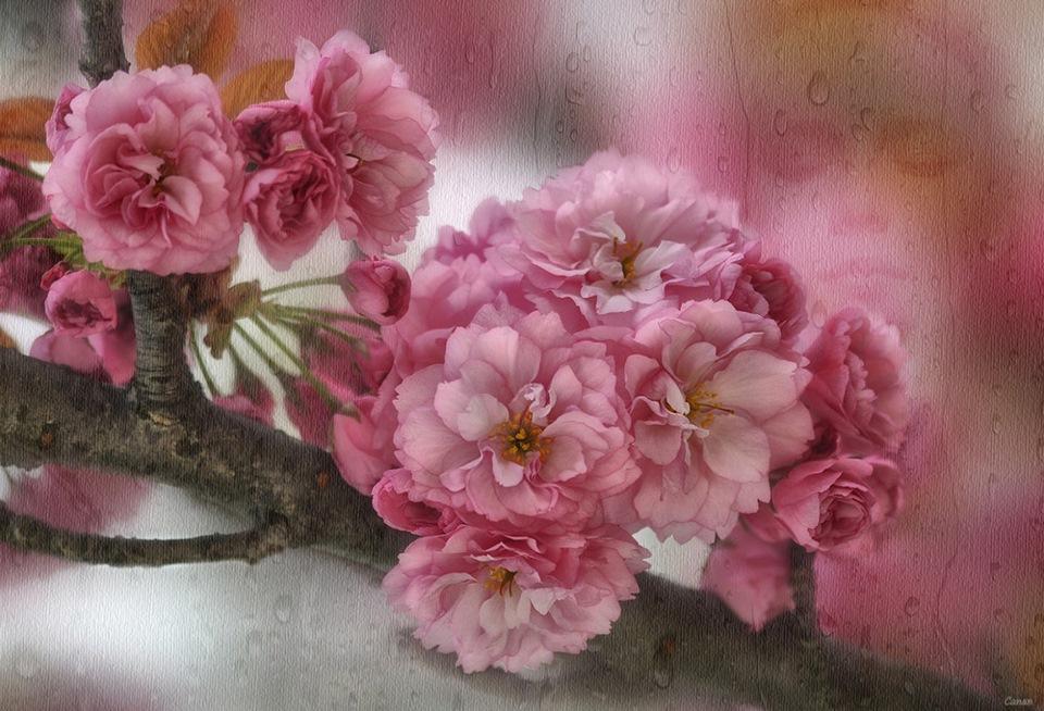Фото Ветка цветущей сакуры грустная девушка, Фотограф Canan Oner