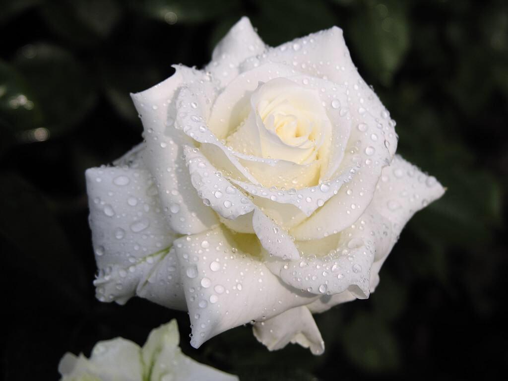 пропустить злокачественное картинки самых красивых белых роз в мире протяжении последних