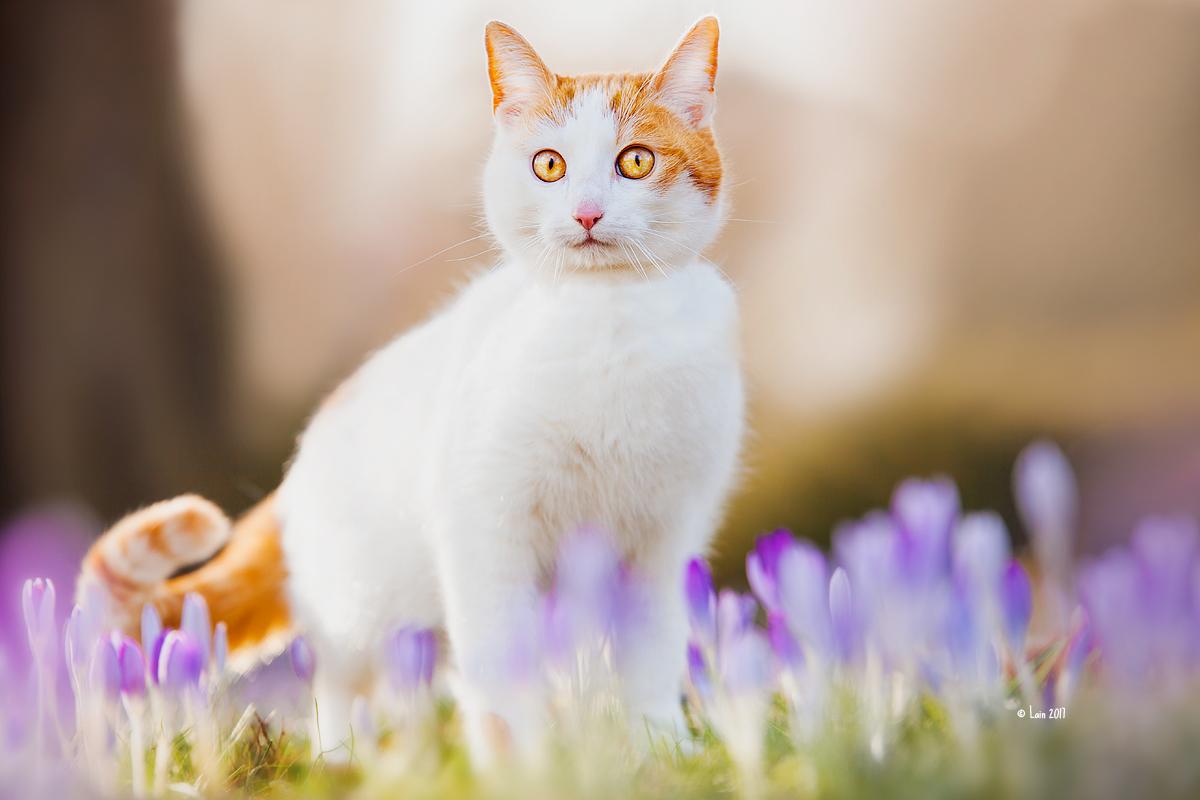 Фото Бело-рыжий удивленный кот стоит среди сиреневых крокусов, by Lain-AwakeAtNight