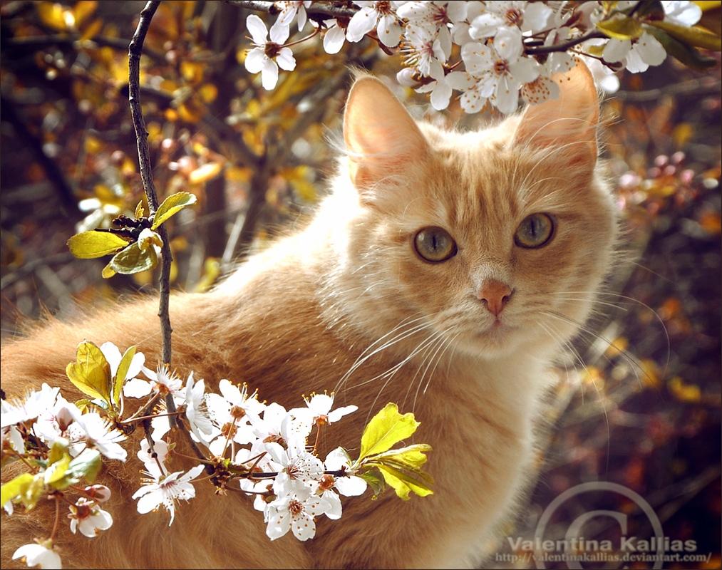 Фото Рыжий кот сидит возле цветущих веток дерева, by ValentinaKallias