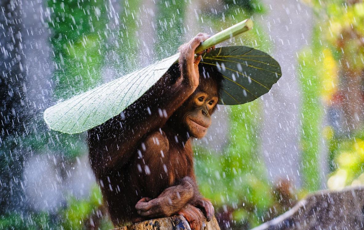Фото Обезьяна большим листом закрывается от дождя