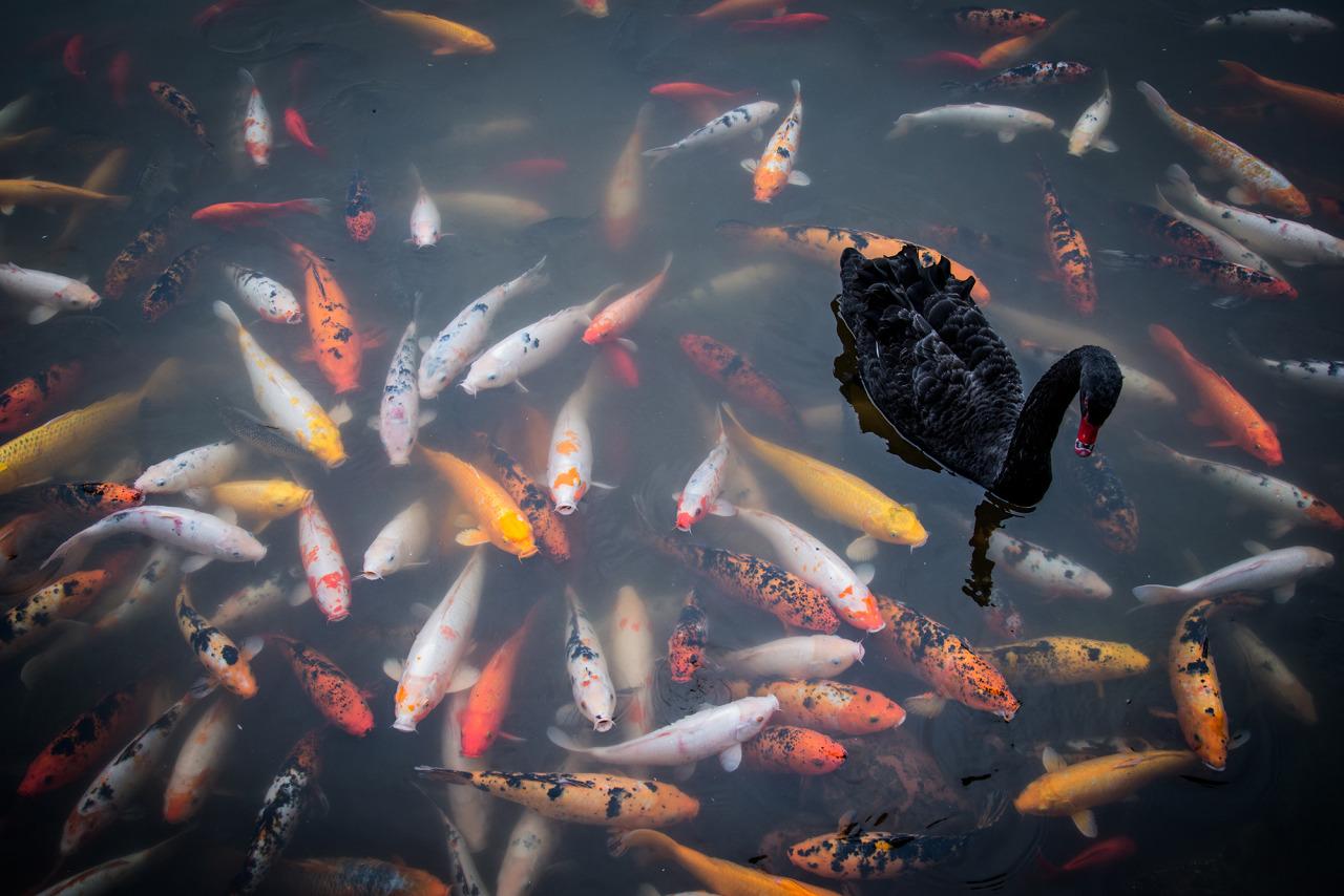 Фото Черный лебедь плавает в пруду среди карп-коев, by Ruvin de Silva