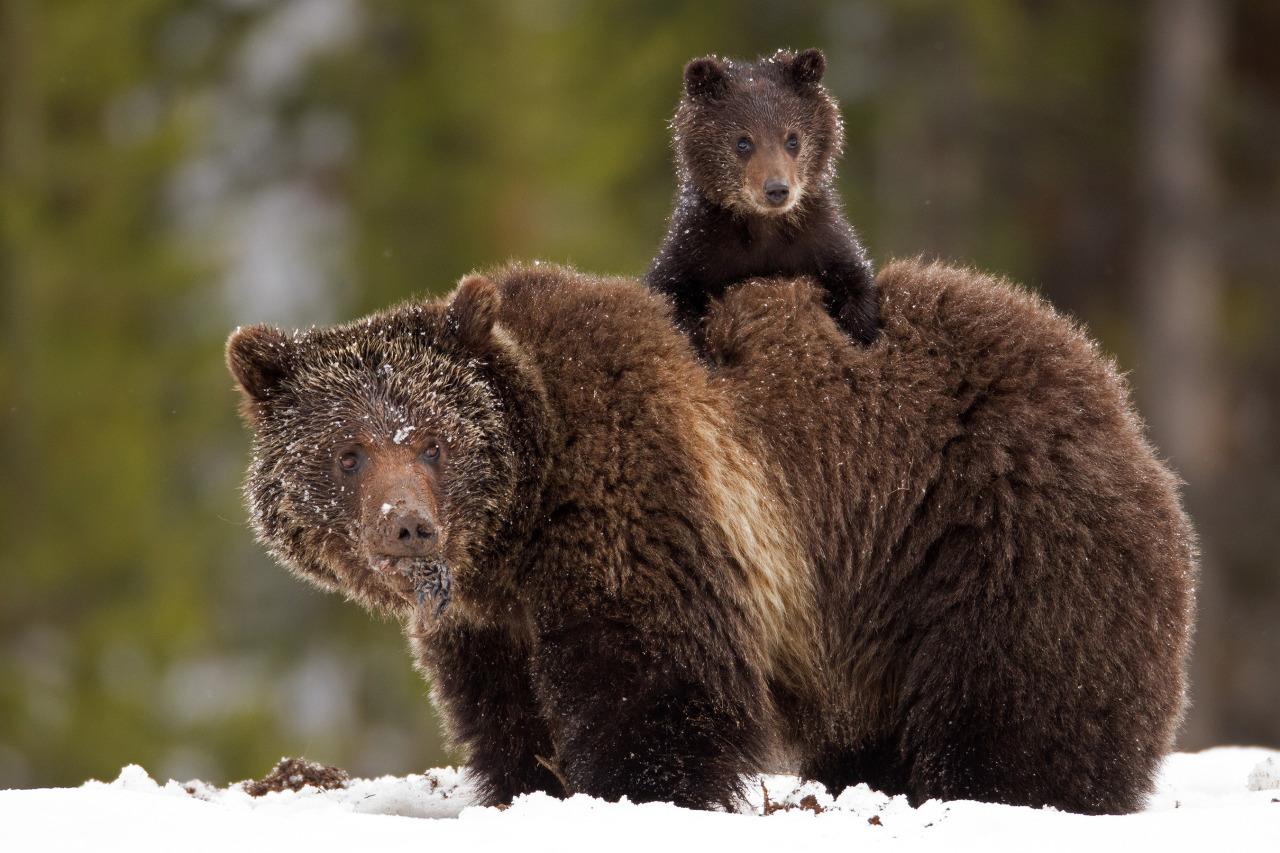 Фото Медвежонок залез на медведицу, by James Yule