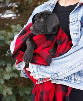 Фото Черный щенок лабрадора, укутанный в плед, на руках хозяйки