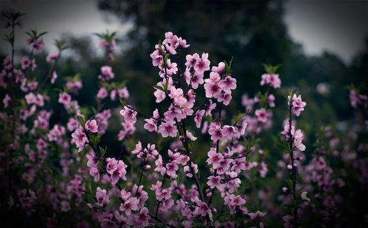 Фото Весенние цветущие веточки, фотограф Osmar Duran