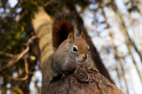 Фото Белка и бельчонок на стволе дерева, фотограф Andre Villeneuve