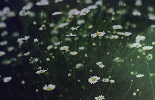 Фото Полевые ромашки, by IrinaJoanne