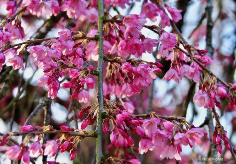Фото Цветущие весенние ветки сакуры