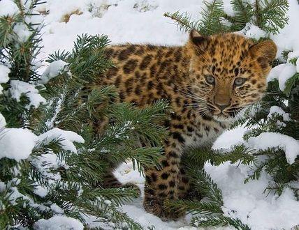 Фото Маленький, миленький тигренок в сосновых ветках, занесенных снегом