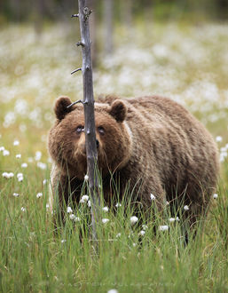 Фото Медведь у засохшего дерева, фотограф Valtteri Mulkahainen