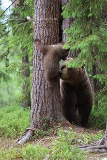 Фото Медведица у дерева и медвежонок на дереве, фотограф Valtteri Mulkahainen