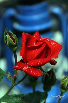 Фото Красная роза с бутонами в каплях росы, фотограф Hasan Bayrak