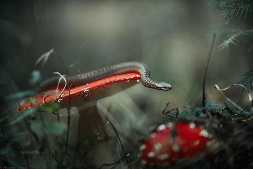 Фото Змея на грибе, фотограф Александр Чорный