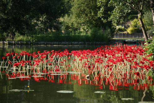 Фото Маки растущие на пруду во Франции
