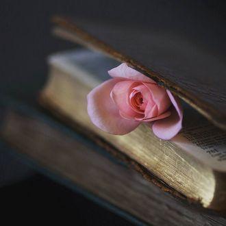 Фото Нежно-розовая роза выглядывает из книги, by Vera Stevens (© Черемша), добавлено: 19.03.2017 00:55