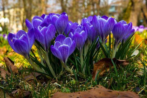 Фото Весенние голубые крокусы (© zmeiy), добавлено: 19.03.2017 21:33