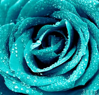 Фото Голубая роза с каплями росы, фотограф Essa Al Mazroee (© zmeiy), добавлено: 19.03.2017 21:49