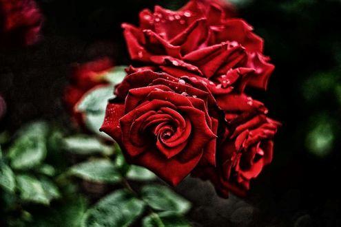 Фото Красные розы в каплях росы, фотограф Bulent Kontas (© zmeiy), добавлено: 19.03.2017 21:54