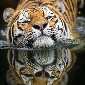 Фото Тигр в прозрачной воде, в которой и отражается (© zmeiy), добавлено: 20.03.2017 00:06