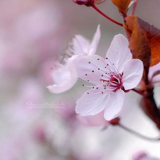 Фото Цветущая вишня, by OliviaMichalski (© chucha), добавлено: 20.03.2017 07:08