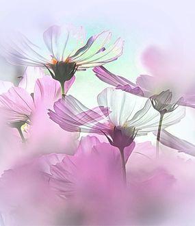 Фото Нежные цветы космеи (© zmeiy), добавлено: 20.03.2017 14:10