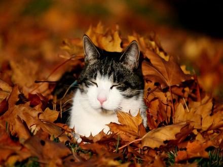 Фото Серо-белый кот в осенней листве (© Margo Fly), добавлено: 20.03.2017 14:35