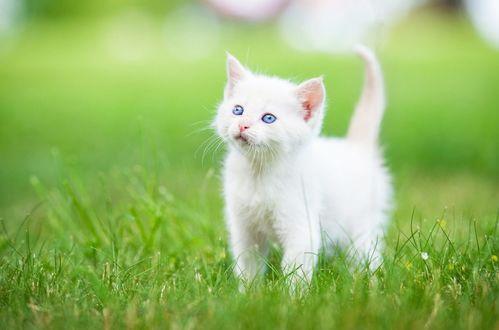 Фото Голубоглазый белый котенок в траве (© Margo Fly), добавлено: 20.03.2017 14:52