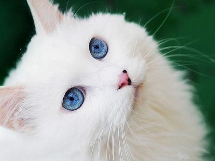 Фото Голубоглазая белая кошка смотрит вверх (© Margo Fly), добавлено: 20.03.2017 14:55