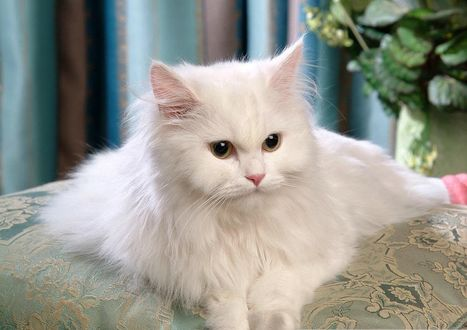 Фото Пушистая белая кошка лежит на подушке (© Margo Fly), добавлено: 20.03.2017 14:59